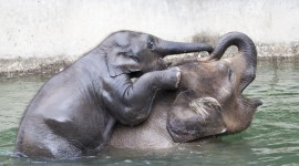 Elephant Swimming Photo Download