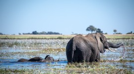 Elephant Swimming Photo Download#1