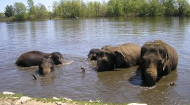 Elephant Swimming Photo Download#2