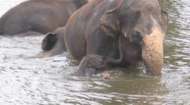 Elephant Swimming Photo Free#2