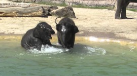 Elephant Swimming Photo#1