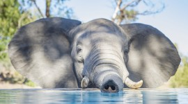 Elephant Swimming Wallpaper Download Free