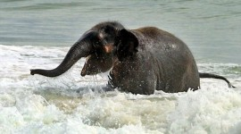 Elephant Swimming Wallpaper Free