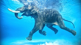 Elephant Swimming Wallpaper HQ#1