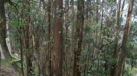 Eucalyptus Forest Wallpaper For IPhone