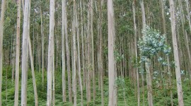 Eucalyptus Forest Wallpaper For IPhone#1