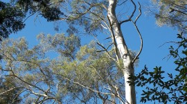 Eucalyptus Forest Wallpaper For Mobile