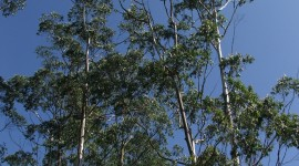 Eucalyptus Forest Wallpaper For Mobile#1
