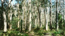 Eucalyptus Forest Wallpaper For PC