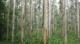 Eucalyptus Forest Wallpaper Full HD