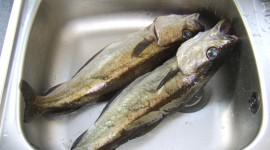 Fish Pollack Desktop Wallpaper HQ
