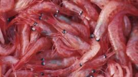 Krill Wallpaper
