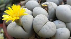 Living Stones Photo Free