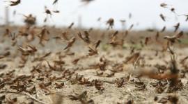 Locust Invasion Desktop Wallpaper For PC