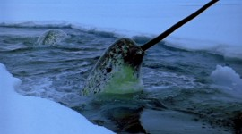 Narwhal Photo Free