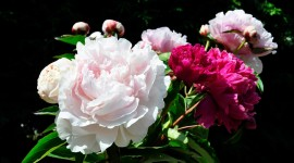 Peonies Wallpaper Background