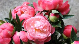 Peonies Wallpaper Download Free