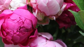 Peonies Wallpaper For IPhone