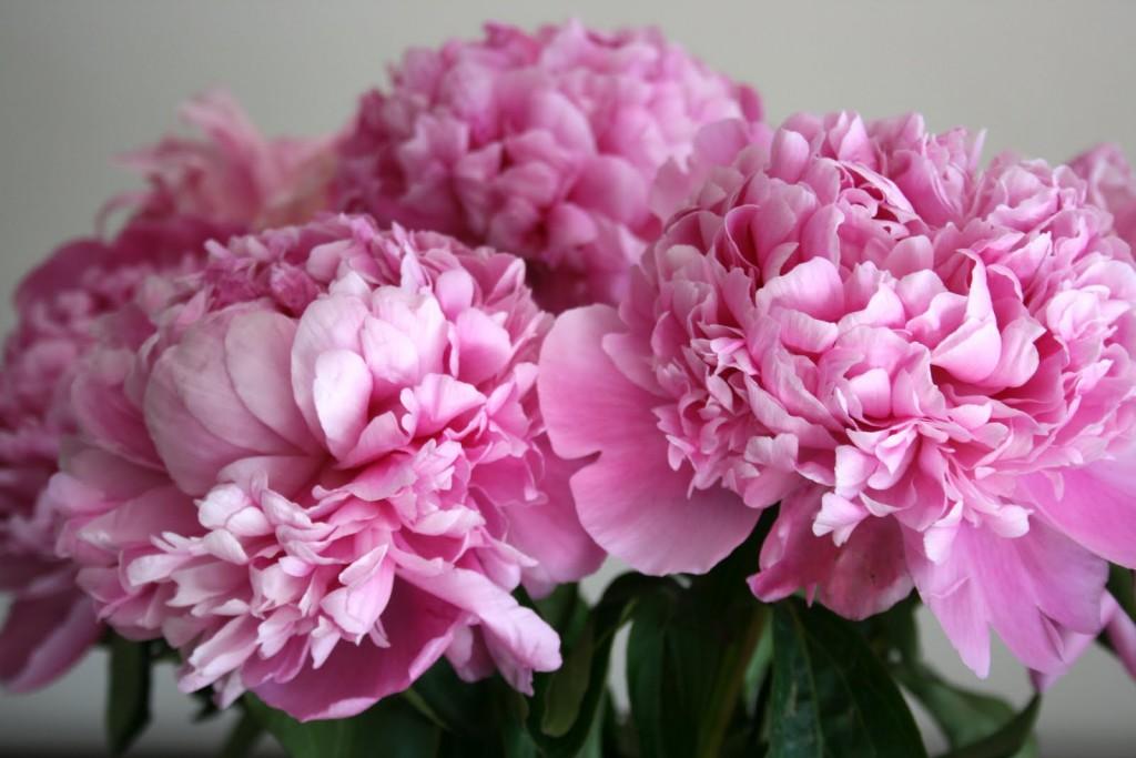 Peonies wallpapers HD