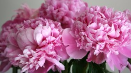 Peonies Wallpaper Gallery