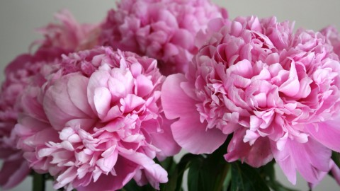 Peonies wallpapers high quality