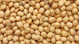Soybean Wallpaper Download Free