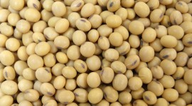Soybean Wallpaper Gallery