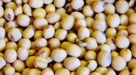 Soybean Wallpaper HD