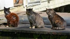Three Cats Desktop Wallpaper For PC