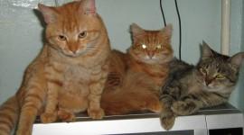 Three Cats Wallpaper