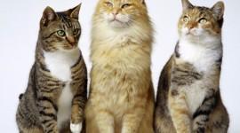 Three Cats Wallpaper Background