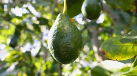 4K Avocado Photo