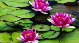 4K Water Lily Desktop Wallpaper