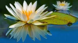 4K Water Lily Desktop Wallpaper HD
