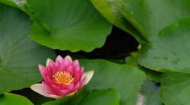 4K Water Lily Photo