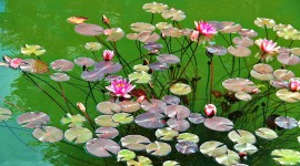 4K Water Lily Photo Download