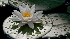 4K Water Lily Photo Download#1