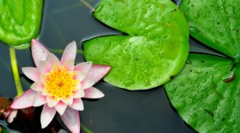 4K Water Lily Photo Download#2