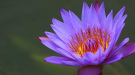 4K Water Lily Photo Free