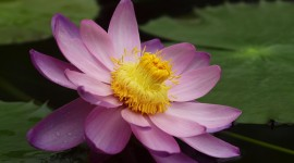 4K Water Lily Photo Free#1