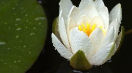 4K Water Lily Photo#1