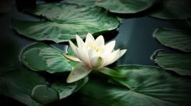 4K Water Lily Wallpaper Gallery