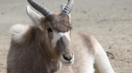 Addax Nasomaculatus Wallpaper For Android