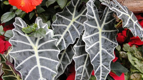 Alocasia wallpapers high quality