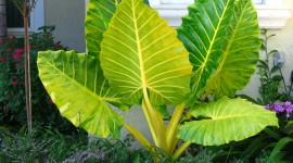 Alocasia Photo Download