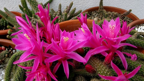 Aporocactus wallpapers high quality