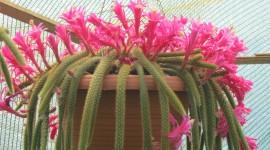 Aporocactus Wallpaper Full HD