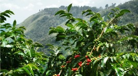Arabica Grains Wallpaper Gallery