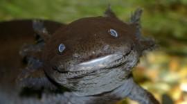 Axolotl Desktop Wallpaper HD