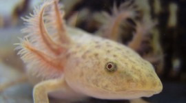 Axolotl Photo Download#1